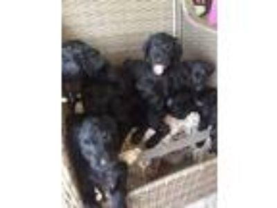Rottie-Poo Puppies For Sale