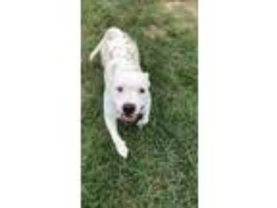 Adopt Bruno a White American Pit Bull Terrier / Mixed dog in Cheyenne