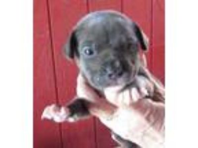 Adopt Dorothy a Gray/Blue/Silver/Salt & Pepper American Pit Bull Terrier / Mixed