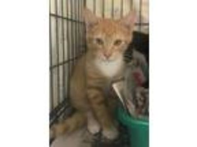 Adopt 19-07-2138a Diego a Domestic Short Hair
