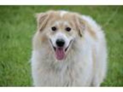 Adopt Beau Bear a Great Pyrenees