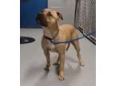 Adopt Luca a Tan/Yellow/Fawn - with White American Pit Bull Terrier / Mixed dog