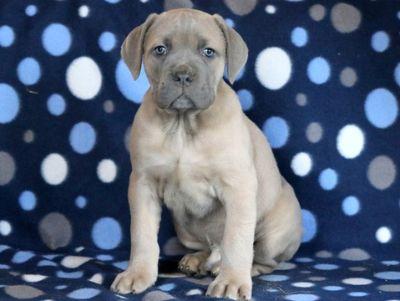 Cane Corso PUPPY FOR SALE ADN-64353 - Cane Corso Puppy for Sale