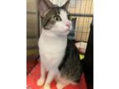 Adopt Ellie a Domestic Short Hair