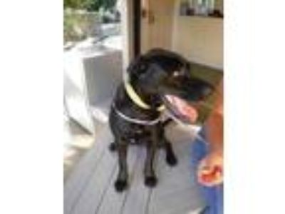 Adopt Hera a Black Labrador Retriever / Mixed dog in Honolulu, HI (25825955)
