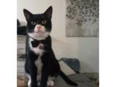 Adopt Theo a Black & White or Tuxedo Domestic Shorthair (short coat) cat in