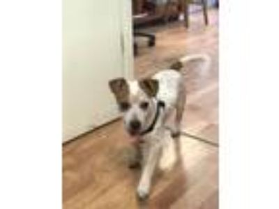 Adopt Tucker a Jack Russell Terrier, Cattle Dog