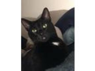 Adopt Blackjack a All Black Domestic Mediumhair / Mixed cat in Medford
