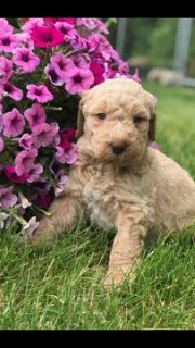 Goldendoodle PUPPY FOR SALE ADN-79325 - 2nd generation Goldendoodles  WILL SHED LESS