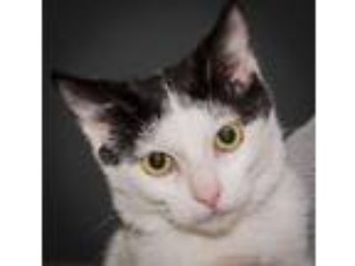 Adopt Gator a Domestic Short Hair