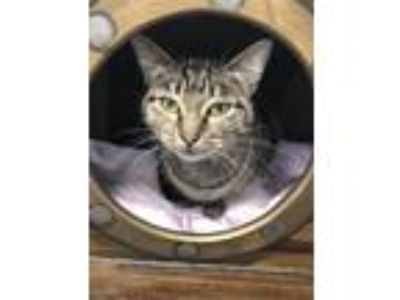 Adopt Rubberband a Domestic Shorthair / Mixed cat in Canton, GA (25920117)