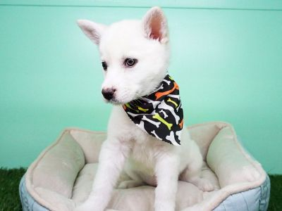 Husky Puppy – Female - Eskee ($1,399)