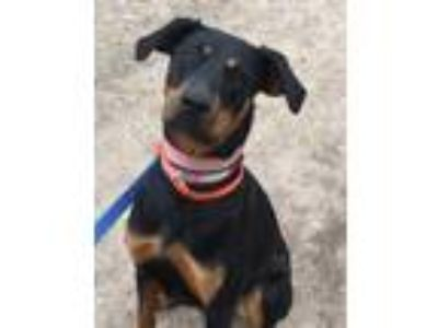 Adopt Bellini a Black - with Tan, Yellow or Fawn Doberman Pinscher / Mixed dog
