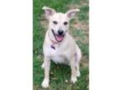 Adopt Heather Gardener a Labrador Retriever / Mixed dog in Barrington