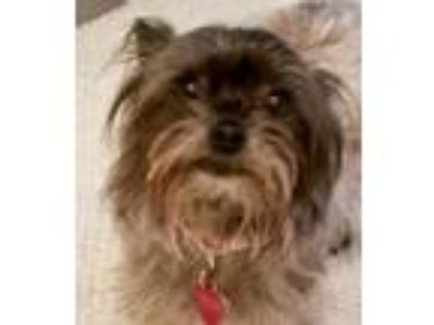 Adopt Lina a Yorkshire Terrier, Mixed Breed