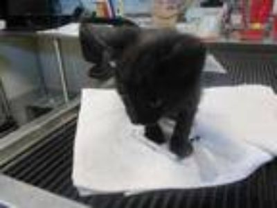 Adopt Michelle a All Black Domestic Shorthair / Domestic Shorthair / Mixed cat