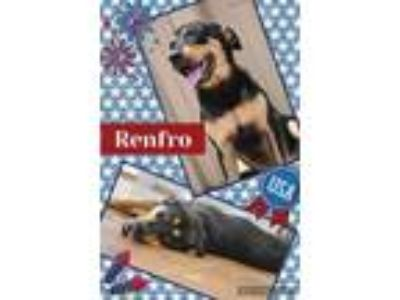 Adopt Renfro a German Shepherd Dog, Rottweiler
