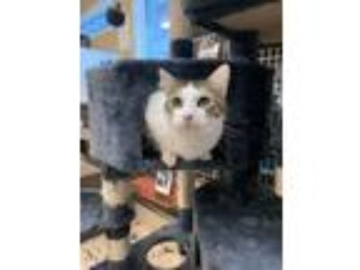 Adopt Natalya a Domestic Short Hair