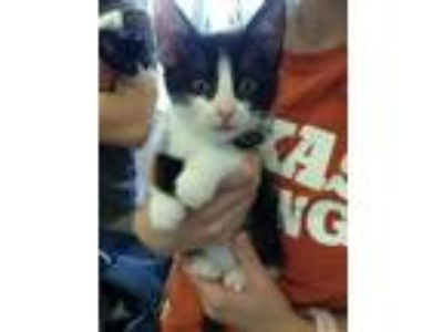 Adopt A790801 a Domestic Short Hair