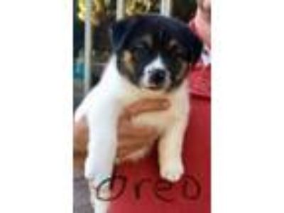 Adopt Oreo CS in TX a Rat Terrier, Beagle