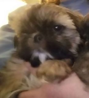 AKC registered Shih Tzu puppies