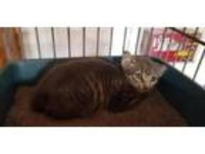 Adopt Wilson a Domestic Short Hair
