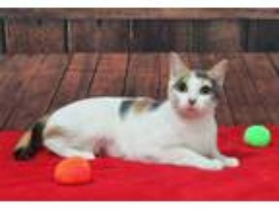 Adopt Ivy a Domestic Shorthair / Mixed (short coat) cat in Roanoke