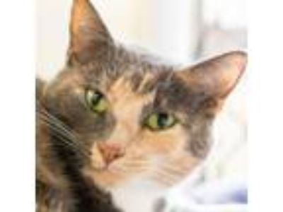 Adopt Zafiro a Domestic Short Hair