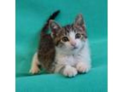 Adopt SHAGGY a Brown or Chocolate Domestic Shorthair / Domestic Shorthair /