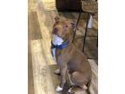 Adopt Cam a Brown/Chocolate Pit Bull Terrier / Mixed dog in Mooresville