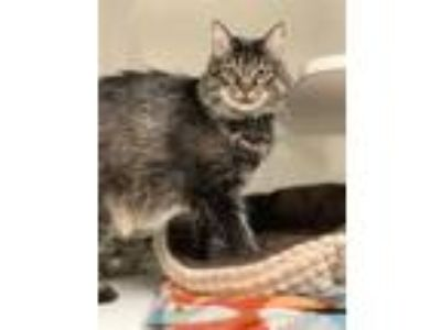 Adopt ADELE a Brown Tabby Domestic Longhair / Mixed (long coat) cat in Hayward