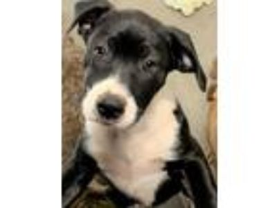 Adopt Janie a Black - with White Pit Bull Terrier / Mixed Breed (Medium) / Mixed