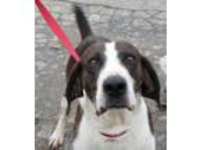 Adopt Bruce a Brindle Hound (Unknown Type) / Mixed dog in Plain City