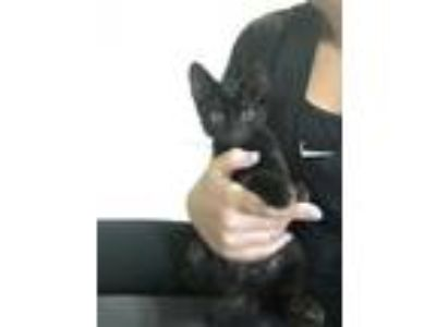 Adopt Guinness a All Black American Shorthair cat in Memphis, TN (25879494)
