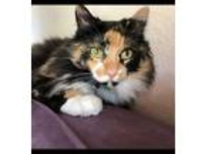 Adopt Scully a Calico or Dilute Calico Calico / Mixed (long coat) cat in Marco