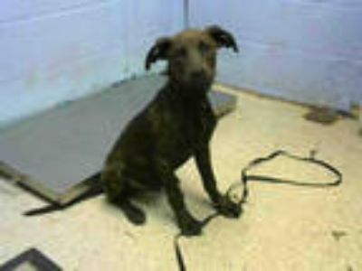 Adopt MANNY a Brindle American Pit Bull Terrier / Mixed dog in Atlanta