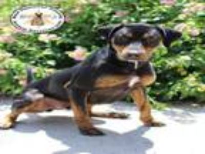 Adopt A396403 a Black and Tan Coonhound