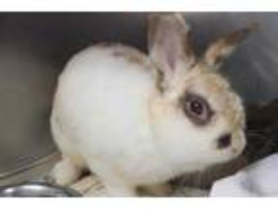 Adopt MICHAEL a White Other/Unknown / Mixed rabbit in St. Louis, MO (24802042)