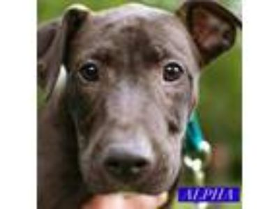 Adopt Alpha a Brown/Chocolate Pit Bull Terrier / Mixed Breed (Medium) / Mixed