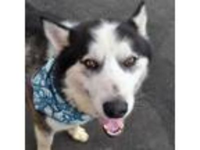 Adopt Hugh a Gray/Silver/Salt & Pepper - with Black Husky dog in Island Park