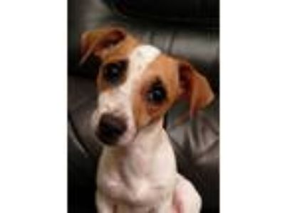 Adopt Cara - in Maine a Jack Russell Terrier