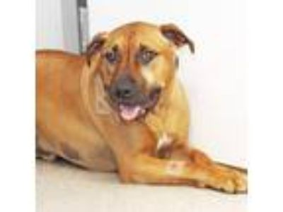 Adopt Rosco a Tan/Yellow/Fawn Mixed Breed (Large) / Mixed dog in Lansing