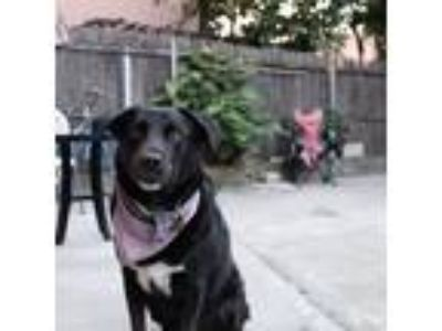 Adopt Jackson a Black - with White Labrador Retriever / Border Collie dog in