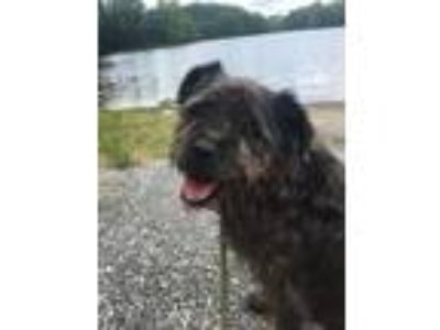 Adopt Dusty a Terrier