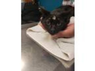 Adopt Thatcher a Domestic Shorthair / Mixed (short coat) cat in Vineland
