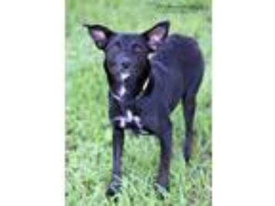 Adopt Elvira a Border Collie, Cattle Dog