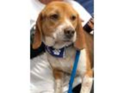 Adopt Tater Tot a Tricolor (Tan/Brown & Black & White) Beagle / Mixed dog in