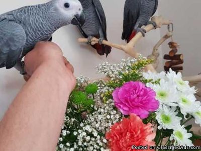 FREE Hand Reared Baby African Grey 2 Baby Available