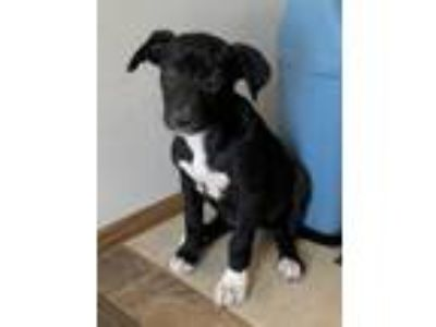 Adopt Ariel puppy a Black - with White Labrador Retriever / Carolina Dog dog in
