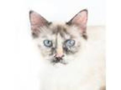 Adopt GORGEOUS Posie! RARE Tortie Pt SIAMESE! Supermodel in the making!